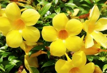 บานบุรีเหลือง